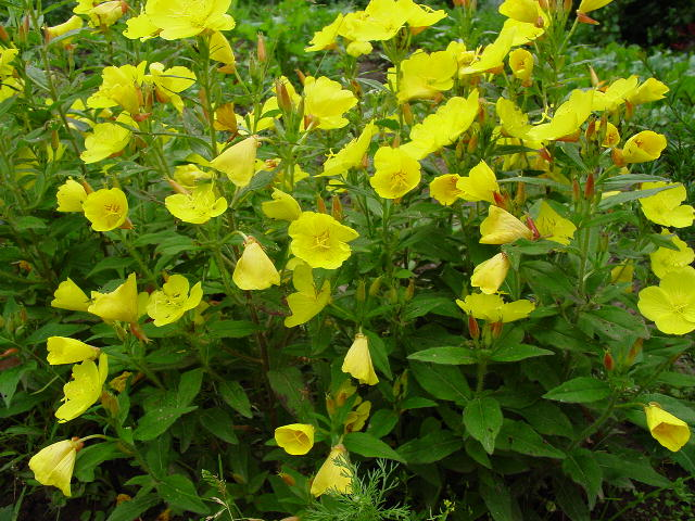 Садовые растения с желтыми цветами